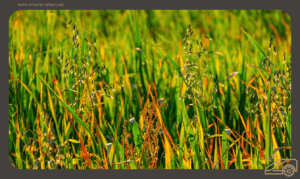 Unkraut im Rasen bekämpfen - Eine Übersicht