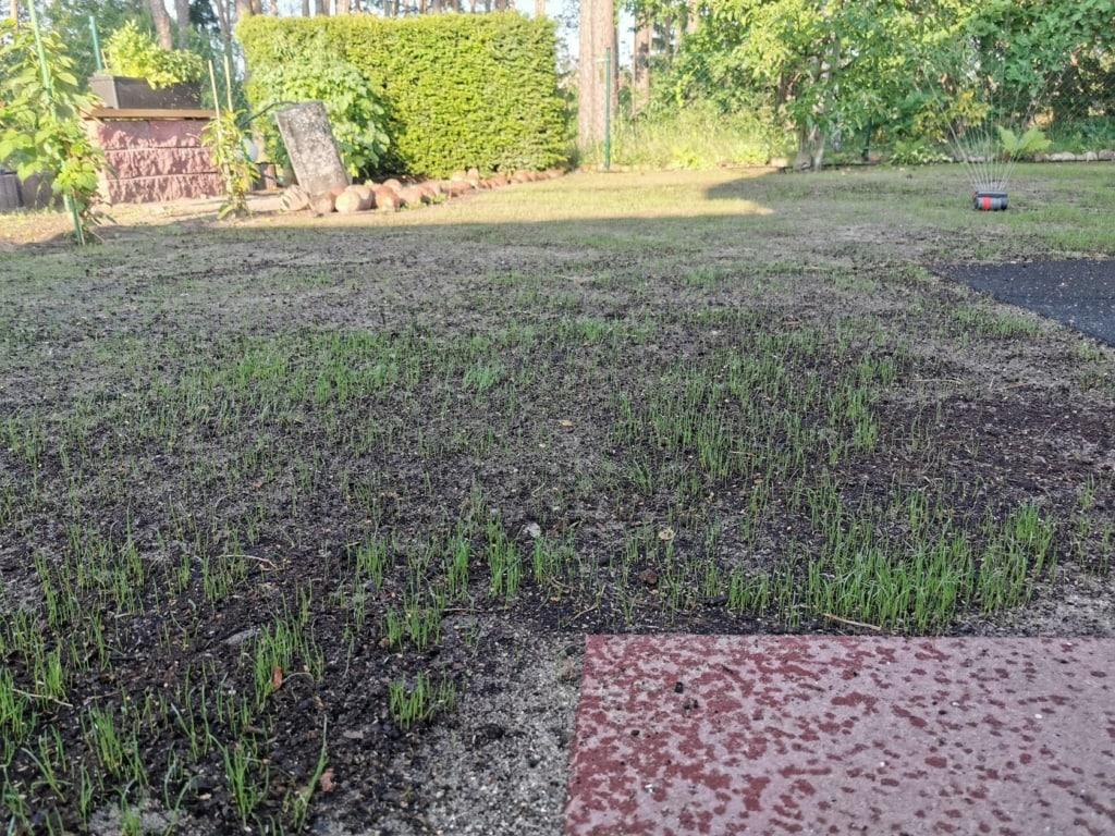 Die ersten Gräser sprießen aus dem Boden - Rasen neue anlegen einfach gemacht